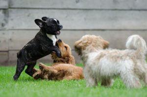 spielende Hundewelpen