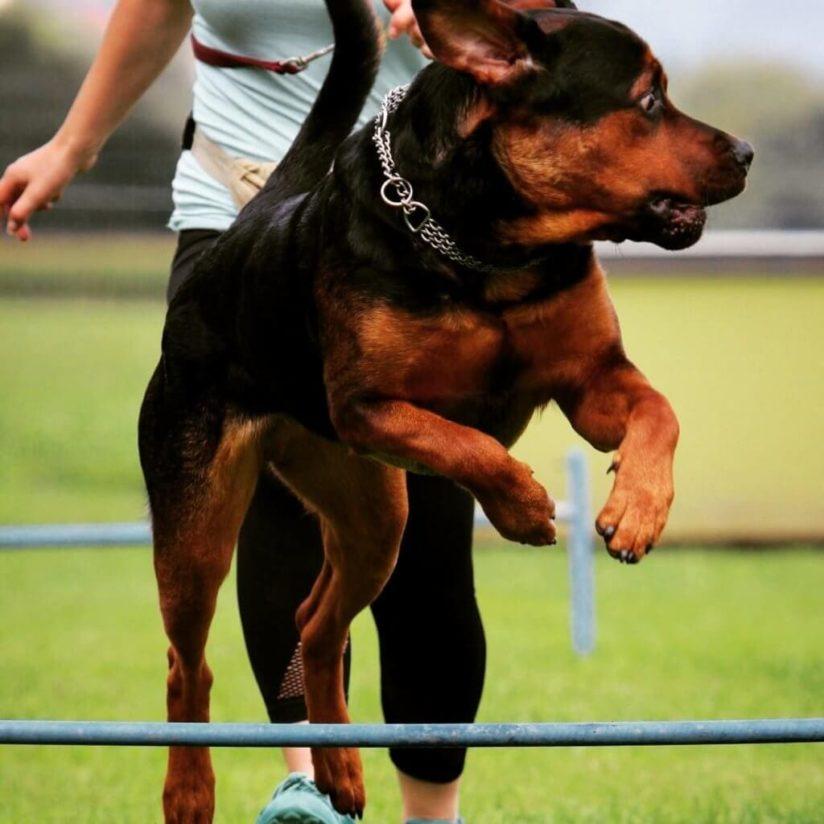 Arthrose beim Hund erkennen