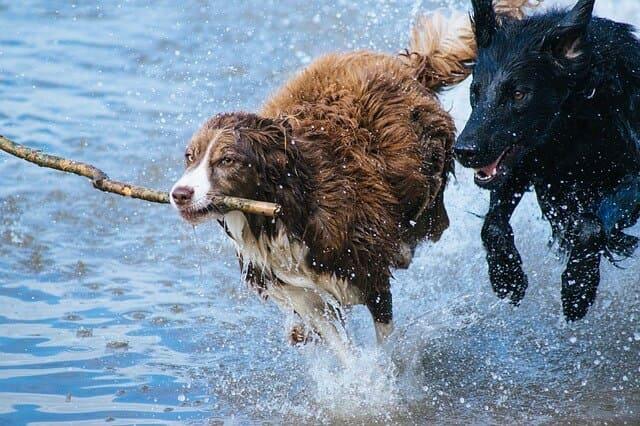 Hunde spielen im Wasser