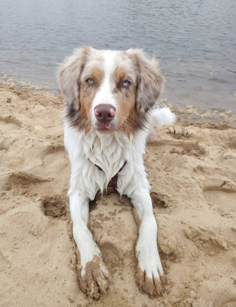hund-Leishmaniose