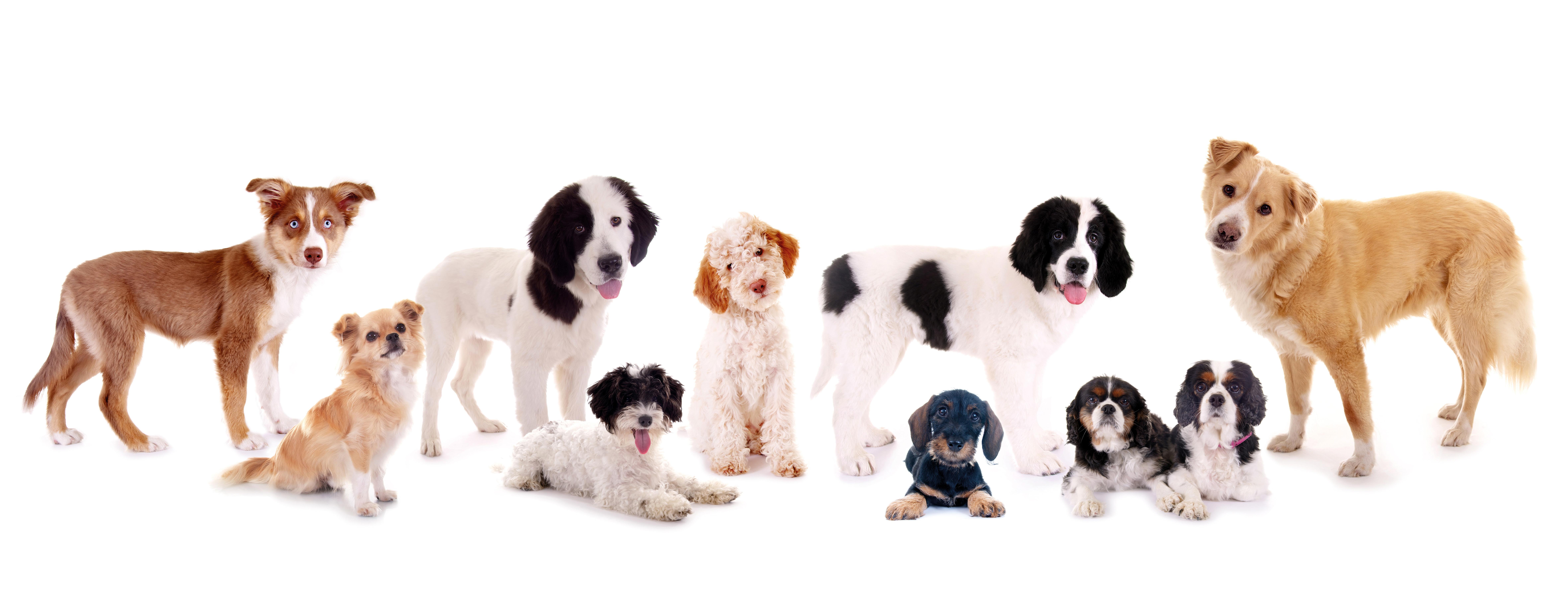 zehn Hunde, verschiedene Rassen Terrier, Mischling, Lagotto, Dackel, Bernhadiner