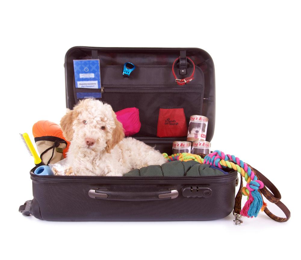 Checkliste mit Hund verreisen, weißer Lagotto im Koffer,