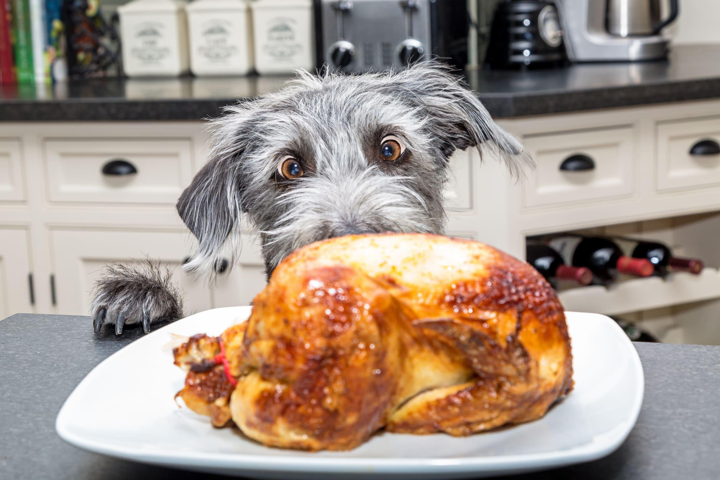 Barfen Hund schielt auf ein Hähnchen