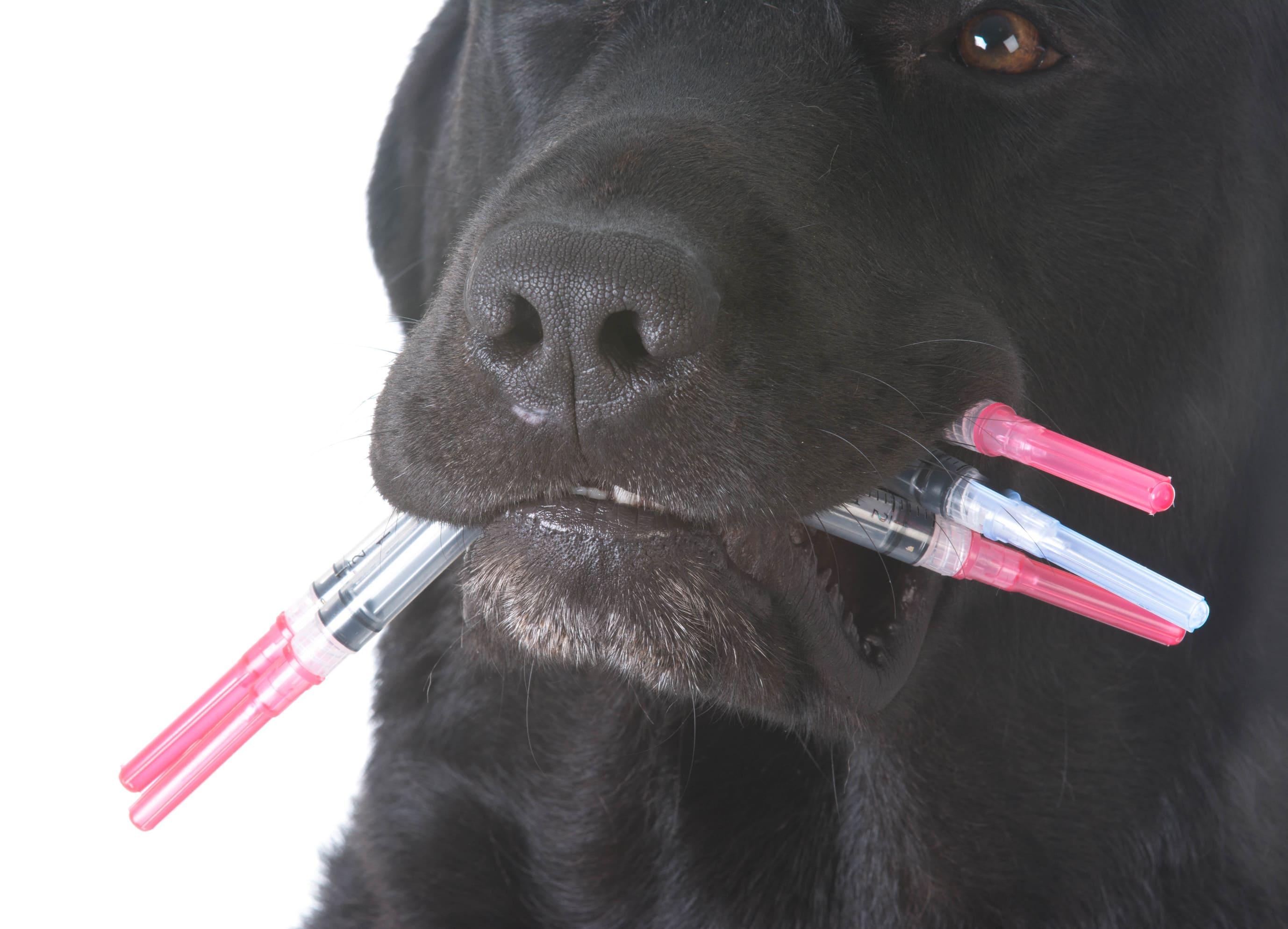 Impfung beim Hund, schwarzer Labrador
