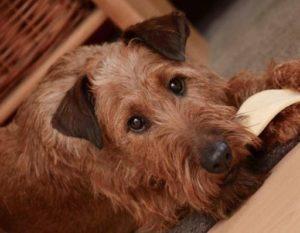 Hundeleckerlis, Terrier mit Trockenfleisch