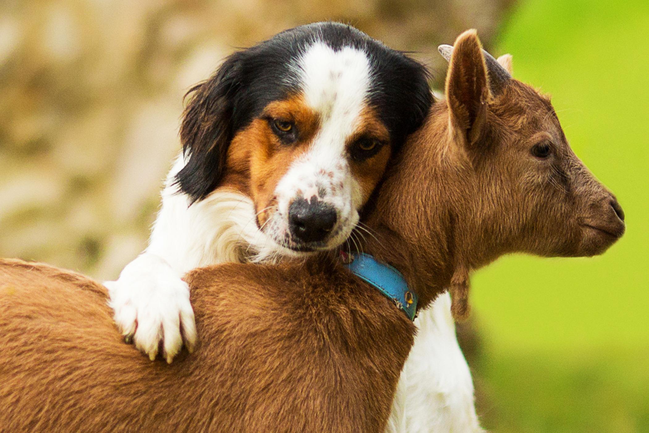 Ziegenkolostrum für Hunde